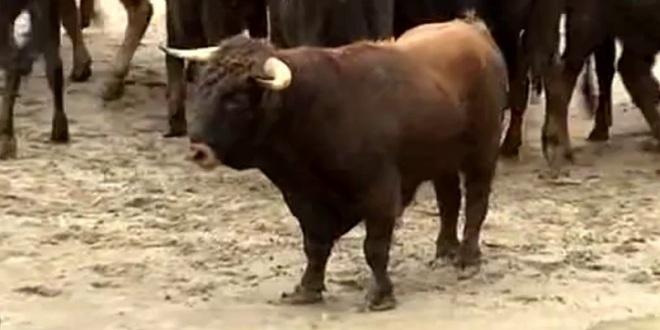 Conozca el increíble caso del toro Chiquitín