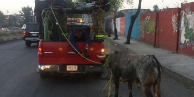 Reclaman propiedad del toro capturado en Azcapotzalco