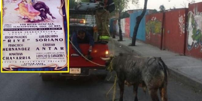 INCREÍBLE: Escapa novillo de festival y lo capturan tiempo después en la calle