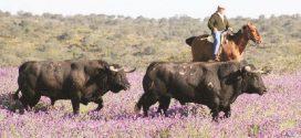 Toro bravo, raza autóctona; concede gobierno español certificación a su carne