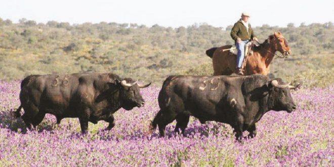 Un toro en la plaza le da la vida a quince en el campo