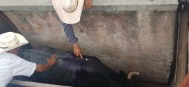 Regresa a su ganadería, el novillo indultado en Monterrey, que vivirá como rey (*Fotos*)