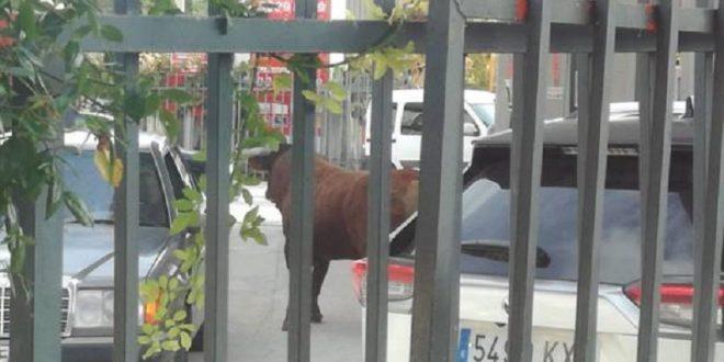 Siembra angustia toro suelto en las calles
