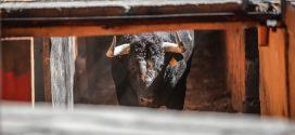 Lidiarán en Autlán de la Grana el toro más pesado de su historia