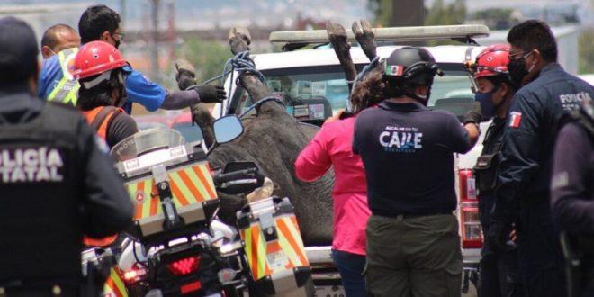 ¡Se escapa burel en Querétaro! (*Fotos y videos*)